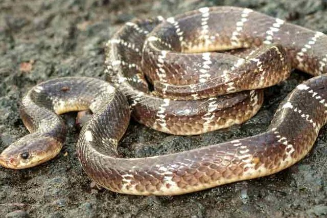 Snake bite: What to do, what not to do and why…